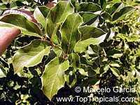 Citronella congonha (gongonha), Congoña, NaranjilloClick to see full-size image