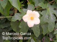 Coccinia palmata, Scarlet GourdClick to see full-size image