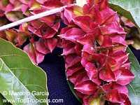 Combretum fruticosum, Orange Flame Vine, Chameleon Vine  Click to see full-size image