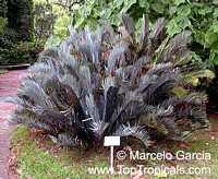 Encephalartos lehmanii, Karoo Cycad  Click to see full-size image