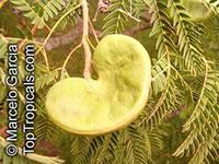 Enterolobium contortisiliquum, Mimosa contortisiliqua, Orelha-de-macaco, Earpod Tree  Click to see full-size image