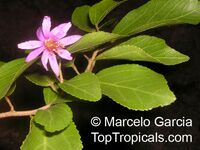 Grewia occidentalis, Grewia asiatica, Lavender Star Flower