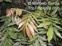Inga uruguensis, Inga banana  Click to see full-size image