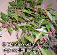 Iodina rhombifolia, Jodina rhombifolia, Sombra de Toro  Click to see full-size image