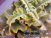 Kalanchoe beharensis, Velvet Leaf  Click to see full-size image