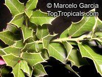 Maytenus ilicifolia, Celastrus ilicinus, Espinheira Santa  Click to see full-size image