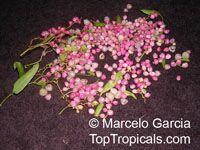 Muehlenbeckia sagittifolia, Coccoloba sagittifolia, Zarzaparrila colorada  Click to see full-size image