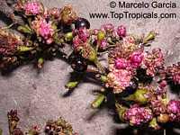 Myrrhinium loranthoides, Myrrhinium rubriflorum, Tetrastemon loranthoides, Myrrhinium atropurpureum, Palo de Fierro, Socara, Iron Wood  Click to see full-size image