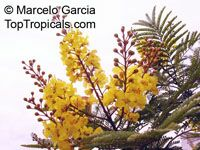 Peltophorum dubium - Golden Flamboyant, Yellow Poinciana