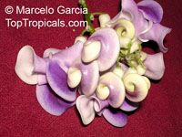 Cochliasanthus caracalla, Vigna caracalla, Phaseolus caracalla, Corkscrew flower, Snail vine  Click to see full-size image
