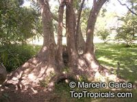 Phytolacca dioica, Pokeweed, Belhambra, Bella Ombre, Ombu, Umbo, Umbra tree, Elephant tree, Fitolaca, Beautiful shade  Click to see full-size image