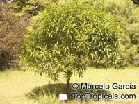 Pouteria gardneriana, Pouteria suavis, Abuai, Aguay guazú  Click to see full-size image