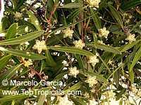 Quillaja brasiliensis, Palo JabónClick to see full-size image