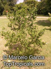 Annona maritima, Rollinia maritima, Aratikum, Quaresma  Click to see full-size image