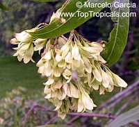 Ruprechtia salicifolia, ViraroClick to see full-size image