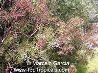 Schinus lentiscifolius, Molle ceniciento  Click to see full-size image