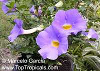 Thunbergia erecta Lilac Delight