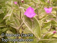 Tradescantia sillamontana, White Velvet, White Gossamer, Cobweb Spiderwort  Click to see full-size image