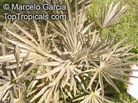 Trithrinax campestris, Blue Needle Palm, Campestre Palm  Click to see full-size image