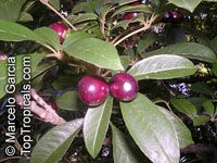 Vitex megapotamica, TarumaClick to see full-size image
