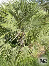 Acoelorraphe wrightii, Acoelorrhaphe, Paurotis, Silver Saw Palmetto, Everglades Palm  Click to see full-size image