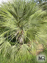 Acoelorraphe wrightii, Acoelorrhaphe, Paurotis, Silver Saw Palmetto, Everglades PalmClick to see full-size image