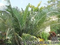 Arenga engleri, Formosa Palm, Dwarf Sugar Palm,Taiwan Sugar Palm  Click to see full-size image