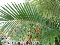 Arenga engleri, Formosa Palm, Dwarf Sugar Palm,Taiwan Sugar Palm