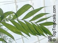 Chamaedorea sp., ChamaedoreaClick to see full-size image