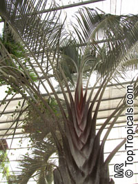Dypsis decaryi (Neodypsis) - Triangle Palm  Click to see full-size image