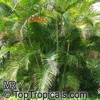 Chrysalidocarpus lutescens, Areca lutescens, Dypsis lutescens, Yellow Butterfly Palm, Cane Palm, Madagascar Palm, Golden Feather Palm, Yellow Palm, Bamboo Palm, Areca Palm  Click to see full-size image