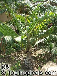 Hyophorbe lagenicaulis, Mascarena lagenicaulis, Bottle Palm  Click to see full-size image