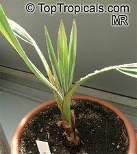 Hyphaene coriacea, Hyphaene natalensis, Elala Palm  Click to see full-size image