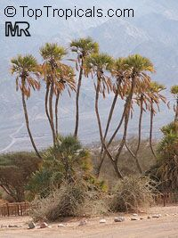 Hyphaene thebaica, Gingerbread Palm, African Doum Palm  Click to see full-size image