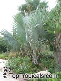 Latania sp., Latan Palm