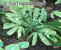Licuala mattanensis Mapu, Paradise Palm Click to see full-size image
