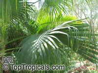 Livistona chinensis, Chinese Fan, Chinese Fountain Palm  Click to see full-size image