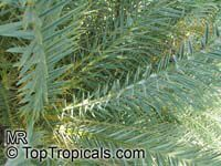 Phoenix theophrastii , Cretan Date Palm  Click to see full-size image