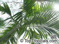 Ptychosperma elegans, Solitaire Palm  Click to see full-size image