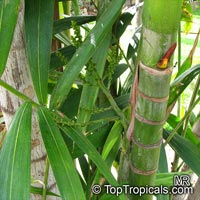 Ptychosperma macarthurii, Macarthur Palm, Macarthur Feather Palm  Click to see full-size image