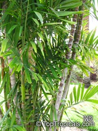 Ptychosperma macarthurii, Macarthur Palm, Macarthur Feather Palm