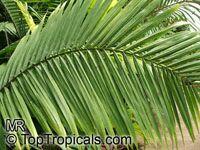 Ravenea rivularis, Ravenea glauca, Majesty Palm  Click to see full-size image