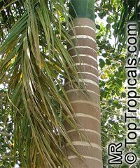 Roystonea elata, Roystonea oleracea, Roystonea regia, Florida Royal Palm  Click to see full-size image
