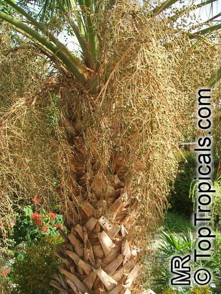 Sabal Palmetto Sabal Palm Cabbage Palm Toptropicals Com