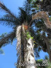Syagrus romanzoffiana, Syagrus romanzoffianum, Arecastrum romanzzoffianum, Cocos australis, Cocos plumosa, Queen Palm  Click to see full-size image