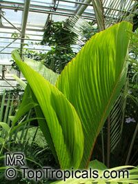 Verschaffeltia splendida , Seychelles Stilt Palm, Latanier Latte, Splendid Palm   Click to see full-size image