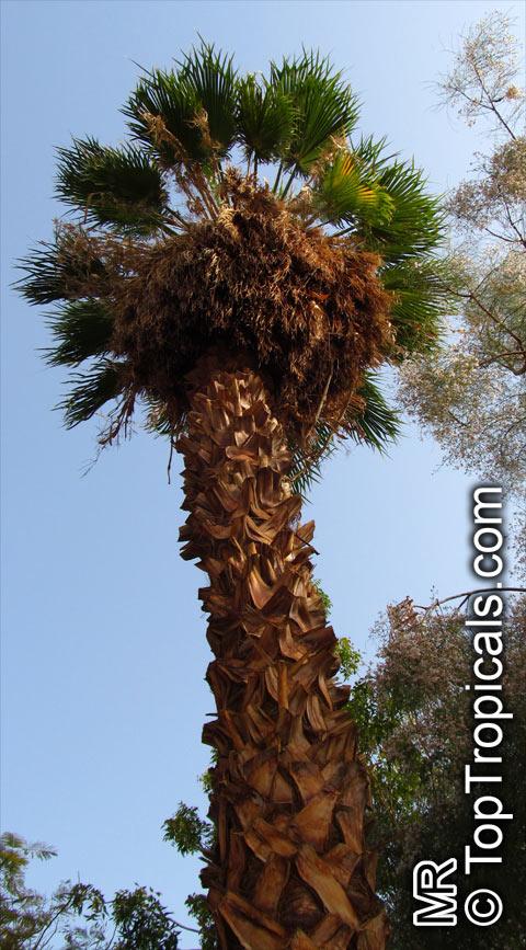 Washingtonia Robusta Washingtonia Mexican Fan Palm
