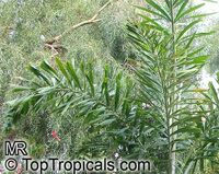 Wodyetia bifurcata, Fox Tail  Click to see full-size image
