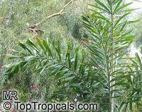 Wodyetia bifurcata, Fox TailClick to see full-size image