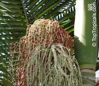 Archontophoenix alexandrae, Ptychosperma alexandrae, Alexandre Palm, King Palm, Nothern Bangalow Palm  Click to see full-size image